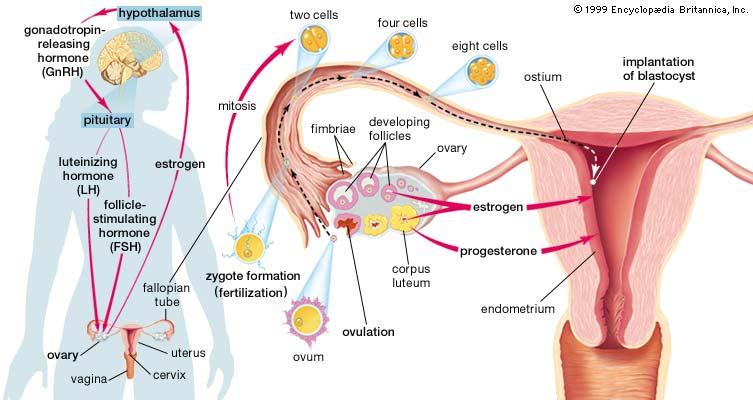 хормонални изследвание при менопауза