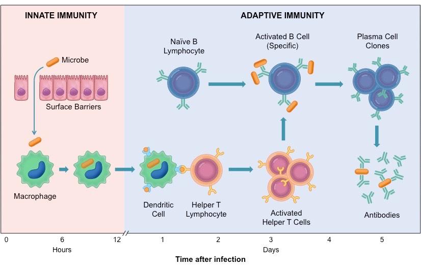 лимфоцити и антитела