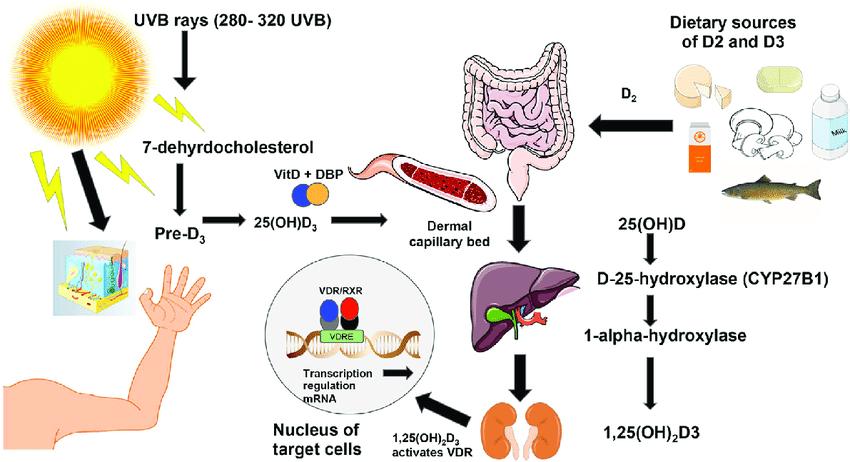 Нивото на витамин D3 в организма