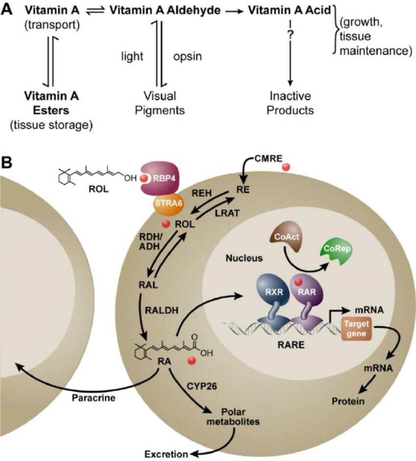 метаболизъм на витамин А
