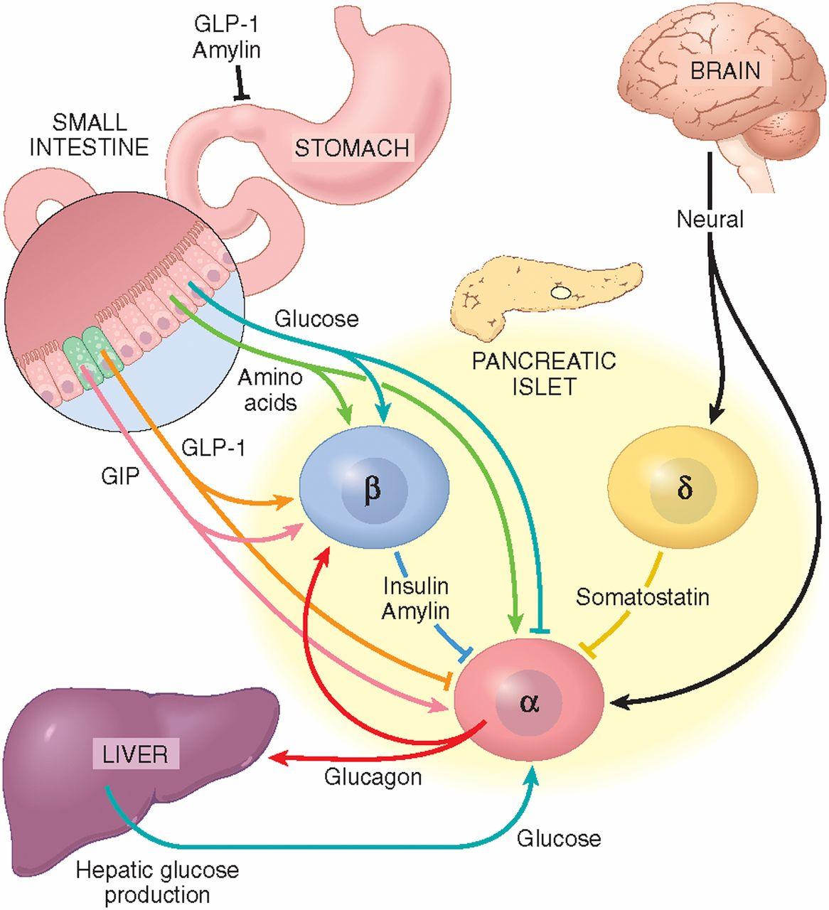 Глюкагон разгражда мазнини