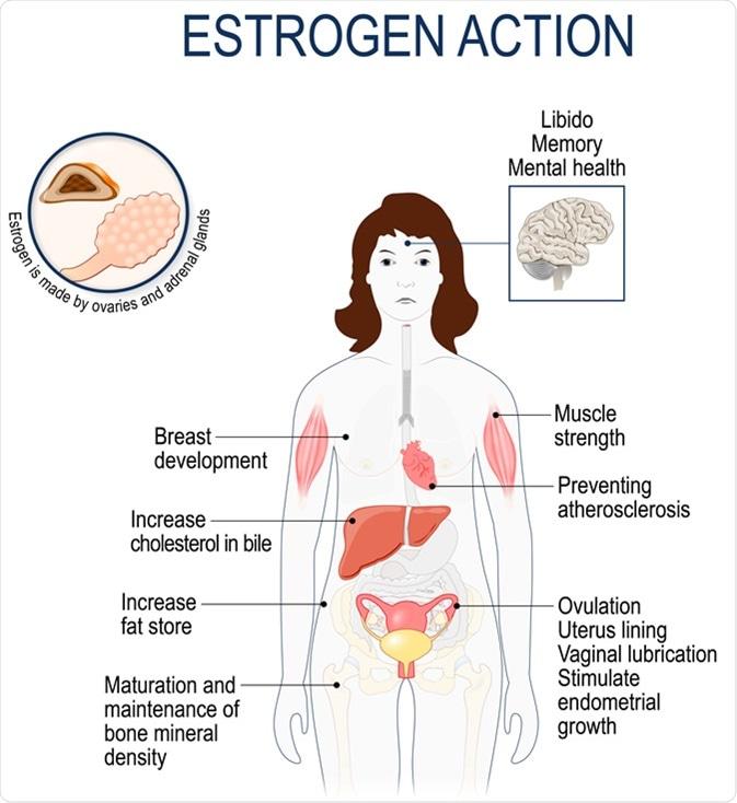 естроген значение